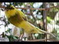 Suara Burung Kenari Yorkshire Gacor Kicau Panjang