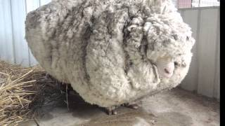 Lost sheep yields 30 sweaters worth of fleece