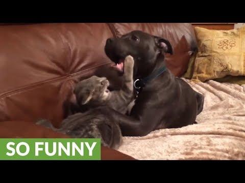 cane-e-gatto-giocano-sul-divano