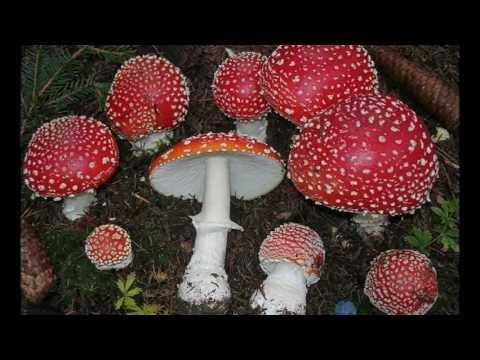 classifica dei 15 funghi più velenosi!
