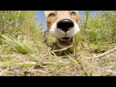 VIDEO: Watch as a Fox Steals a GoPro