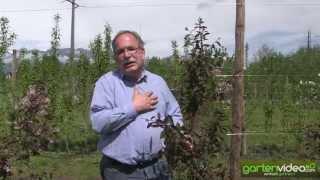#1182 Traubenkirsche Prunus padus