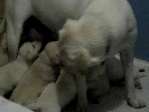 White lab puppy feeding frenzy