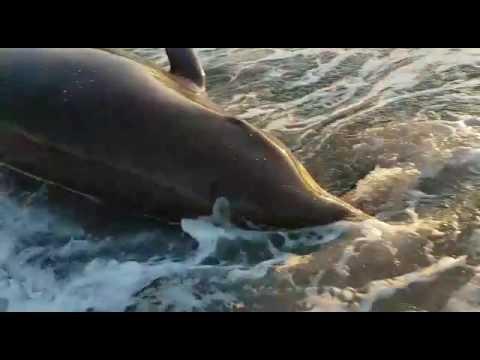 Strandmedewerkers redden aangespoelde dolfijn