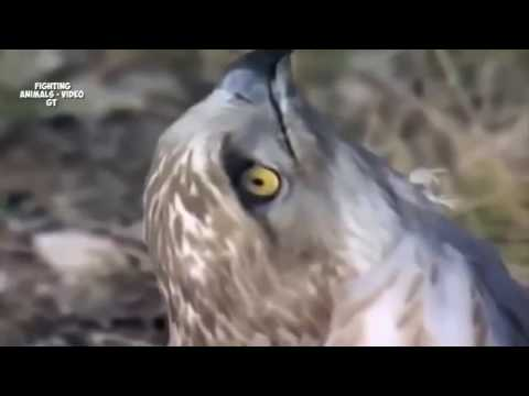 Eagle Vs Snake Black Mamba   Fighting Eagle   Snake Attack