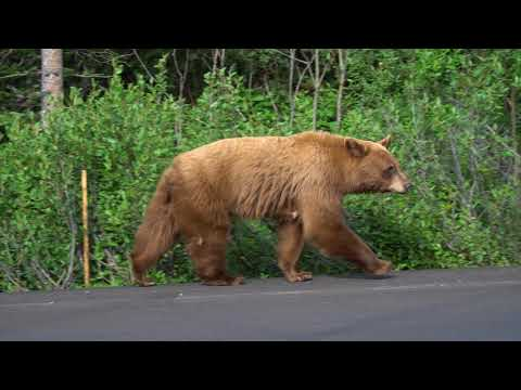Bears in Banff