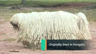 Dog Breeds - Komondor Dogs A Canine Mop