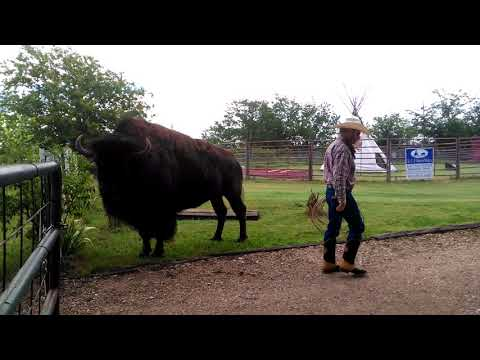 CowBoy uses Bison as a Roping Rack