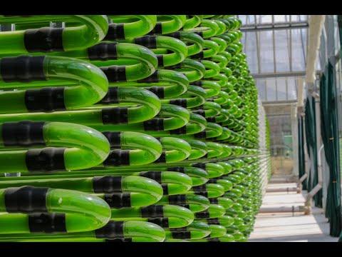 Algenproduktion in Klötze: Mit dem Meer die Welt ernähr ...