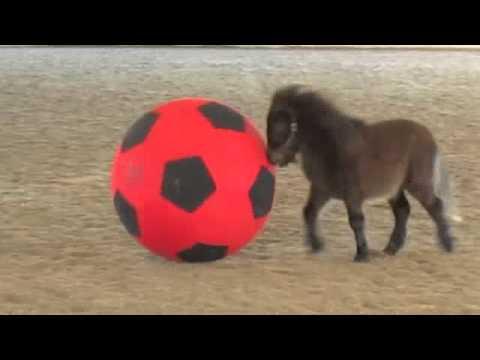 Mini caballo jugando con gran pelota