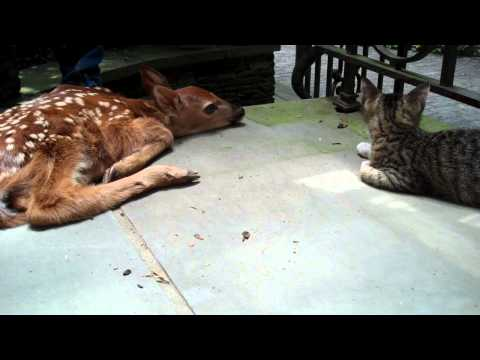 Excited - How incredible is this? A kitten named Miro was amazed to see a new born deer (fawn) at the front door. Watch him try to figure out what's going on! Adorable...