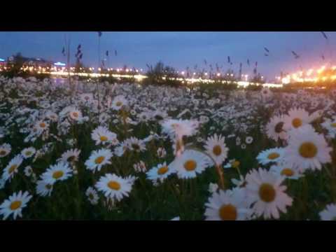 Ромашковая поляна