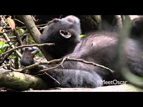 Chimpanzee Clip ' Naptime or Playtime'