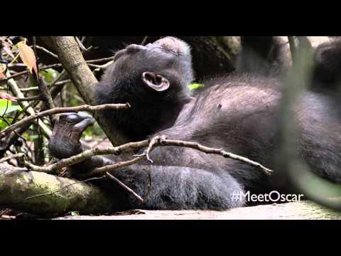 Chimpanzee Chimpanzee (Clip ' Naptime or Playtime')