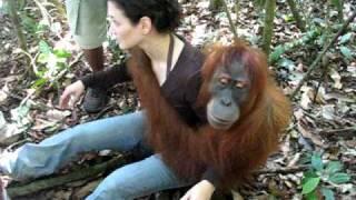 Video Orangutan, Bukit Lawang / Indonesia, Sumatra MP3, 3GP, MP4, WEBM, AVI, FLV September 2018
