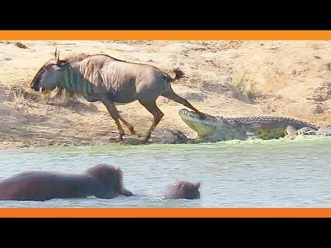 Virtahevot tulevat apuun kun gnuu on joutua krokotiilin kitaan