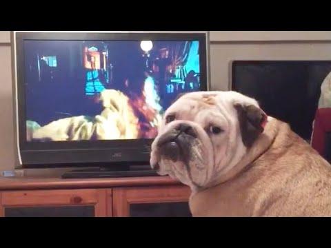 La graciosa reacción de un bulldog a una película de terror
