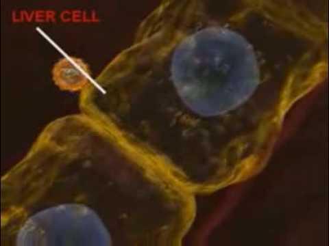 Вирус гепатита C в печени