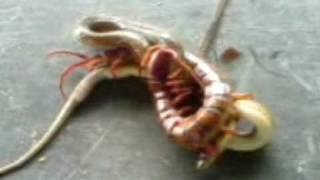 A Huge Centipede Fighting A Snake