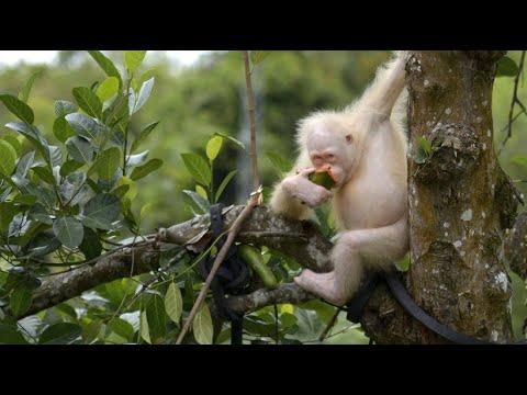 Borneo: Dem weltweit einzigen Albino-Orang-Utan geht es gut