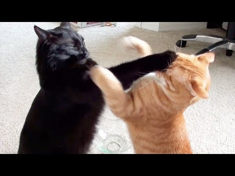 NINJA CATS! There39s absolutely NOTHING MORE FUNNY!  - Impossible TRY NOT TO LAUGH compilation