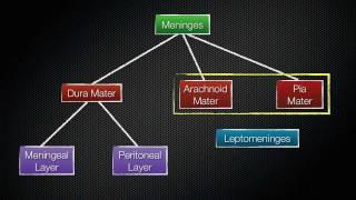 069 The Meninges Of The Central Nervous System