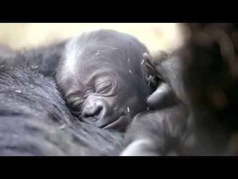 sevimli goril ve yavrusu
