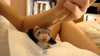 Syringe Feeding A Sick Ferret