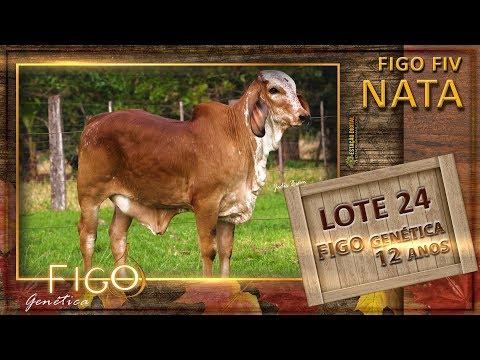 LOTE 24 - FIGO FIV NATA