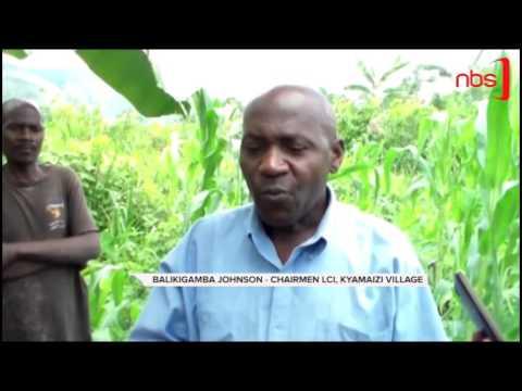 Fall Armyworms Attack Bundibugyo