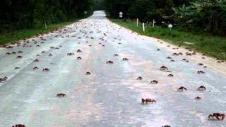 Millions Of Red Crabs Crossing A Road :o