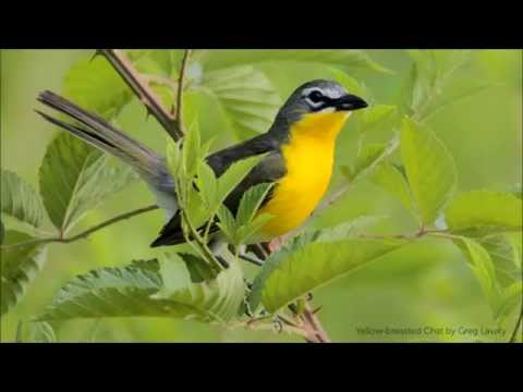 Yellow-breasted Chat Song