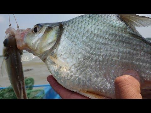 Trúng lớn rồi. Điểm câu mới, mồi mới cá ăn k kịp nắn mồi. Con cá dảnh khổng lồ | săn bắt SÓC TRĂNG | - Thời lượng: 45 phút.