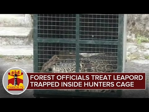 Forest-Officials-treat-Leopard-trapped-inside-a-Cage-set-by-Hunters-Ooty-Thanthi-TV-02-03-2016