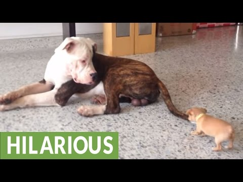 il-cucciolo-di-chihuahua-temerario