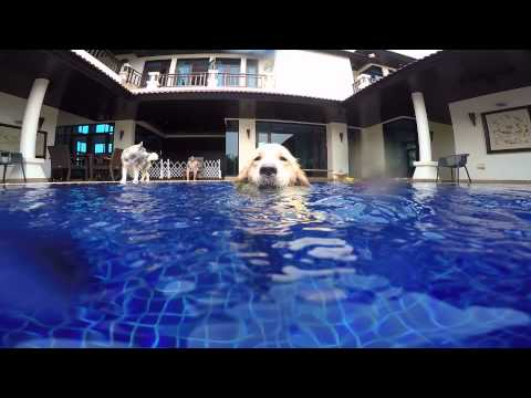 golden retriever diving in pool