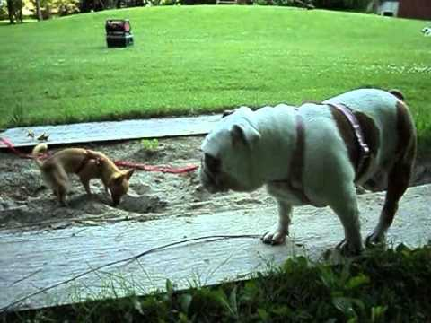Funny Bulldog helps Chihuahua dig hole
