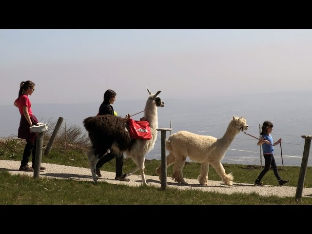 Valdobbiadene - I lama e gli alpaca di Elena Vanzin