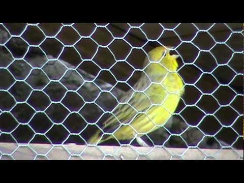 Jilguero dorado en jaulón