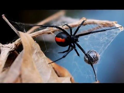 Ouch: Man Bitten on the Penis by Nasty Redback Spider