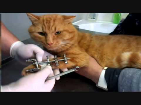 Кот 2 года артродез лучезапястного сустава