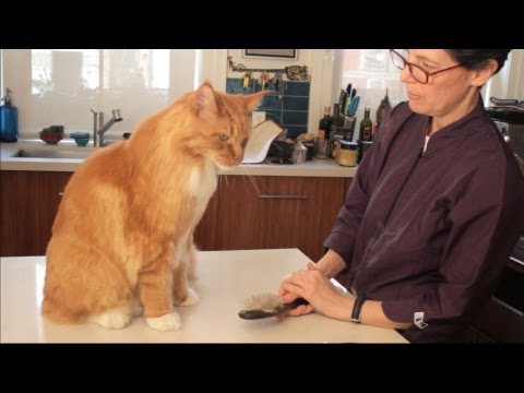 Maine Coon Cat Grooming with The Pet Maven