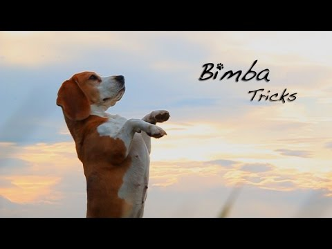 beagle - addestramento speciale!