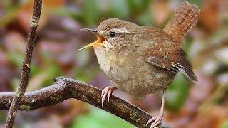 Wren Bird Singing a Beautiful Song - Birdsong and Sounds - Troglodyte Mignon