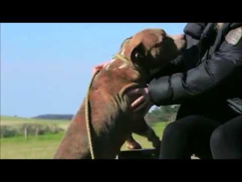 Amstaff – Reportage sur un chien pas ordinaire