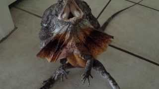 Australian frilled dragon freak out!