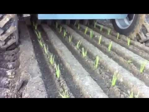 Transplanting Tulips After Bloom How to Transplant Tulip Bulbs