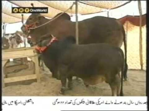 Eid al-Adha Qurbani Bull for 20 Lac Rupees only