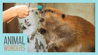 Training Huckleberry The Beaver by Animal Wonders