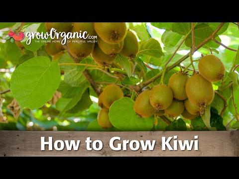 How to Grow Kiwi